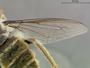 Rhaphiomidas pachyrhynchus Rogers & Van Dam, 2007