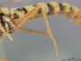 Leptomydas concinnus Coquillett, 1904
