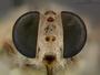 Apomidas trochilus Coquillett, 1892