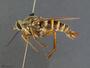 Rhaphiomidas terminatus Cazier, 1941