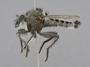 Neolophonotus bimaculatus Londt, 1986