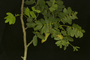Caesalpinia aff. velutina (Britton & Rose) Standl.