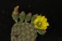 Opuntia decumbens Salm-Dyck