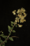 Lawsonia inermis L.