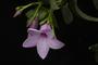 Cryptostegia grandiflora R. Br.