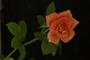 Rosa chinensis Jacq.
