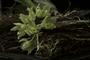 Clowesia dodsoniana Ag. León