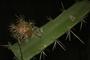 Acanthocereus tetragonus (L.) Hummelinck