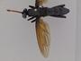 Gauromydas unidentified