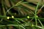 Psilotaceae - Psilotum nudum