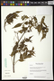 Bursera penicillata (DC.) Engl.
