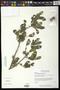 Diospyros salicifolia Humb. & Bonpl. ex Willd.