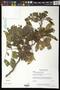 Caesalpinia velutina (Britton & Rose) Standl.