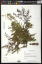 Acacia picachensis Brandegee