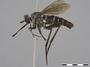 Neorhaphiomidas unidentified