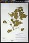 Croton ciliatoglandulosus Steud.