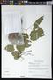 Pithecoctenium crucigerum (L.) A.H. Gentry