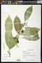 Ficus insipida Willd.
