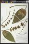 Echinodorus andrieuxii (Hook. & Arn.) Small