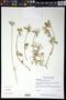 Gomphrena filaginoides M. Martens & Galeotti