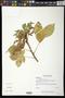 Jatropha gossypiifolia L.