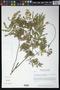 Acacia villosa (Sw.) Willd.