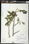 Coulteria velutina (Britton & Rose) Sotuyo & G.P. Lewis