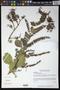 Combretum farinosum Kunth