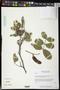 Lonchocarpus palmeri Rose
