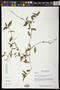 Commelina diffusa Burm. f.