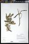 Gliricidia sepium (Jacq.) Kunth ex Walp.