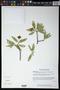 Bonellia macrocarpa subsp. pungens (A. Gray) B. Ståhl & Källersjö