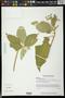 Solanum erianthum D. Don