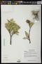 Bonellia macrocarpa (Cav.) B. Ståhl & Källersjö subsp. macrocarpa