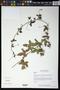 Passiflora ciliata Aiton