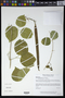 Mansoa hymenaea (DC.) A.H. Gentry
