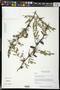 Vachellia cornigera (L.) Seigler & Ebinger