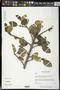 Ficus aurea Nutt.