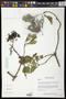 Cordia gerascanthus L.