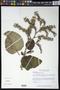 Wigandia urens (Ruiz & Pav.) Kunth