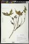 Lonchocarpus istmensis M. Sousa