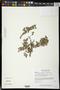 Mimosa tricephala var. nelsonii (B.L. Rob.) Chehaibar & R. Grether
