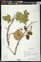 Pterocarpus orbiculatus DC.