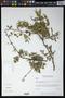Havardia campylacanthus (L. Rico & M. Sousa) Barneby & J.W. Grimes