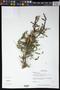 Acacia cornigera (L.) Willd.