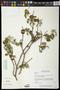 Croton mazapensis Lundell