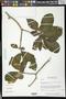 Tabernaemontana odontadeniiflora A.O. Simões & M.E. Endress