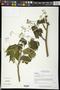 Gyrocarpus mocinoi Espejo