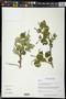 Croton aff. mazapensis var. obtusifolius (Müll. Arg.) G.L. Webster