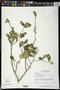 Diospyros aequoris subsp. tehuantepecensis Provance et al.